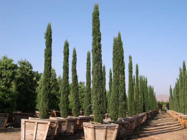 Wholesale Italian cypress for sale | Cupressus sempervirens