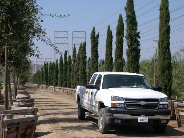 Florida, Texas Italian Cypress for sale | Cupressus sempervirens Wholesale